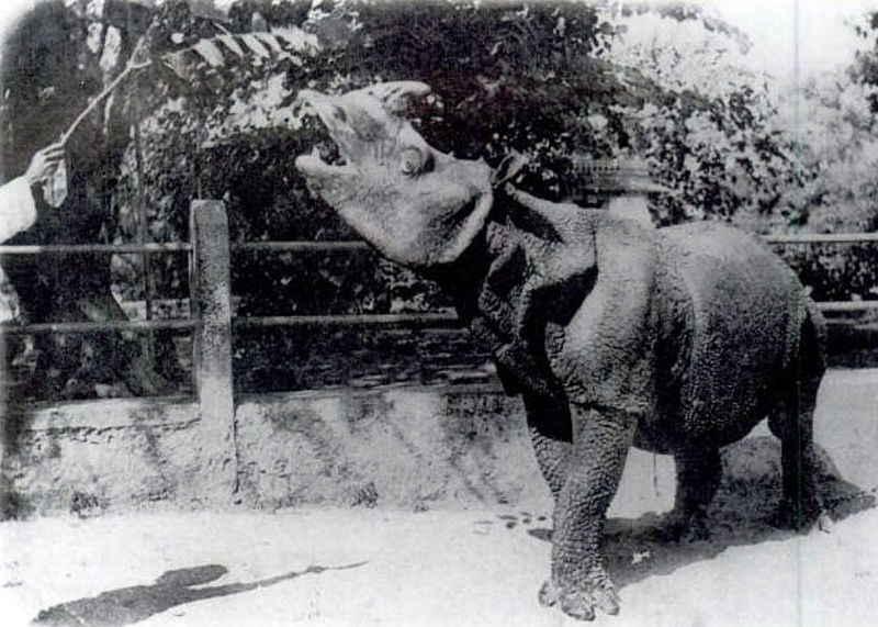 De Javaanse neushoorn