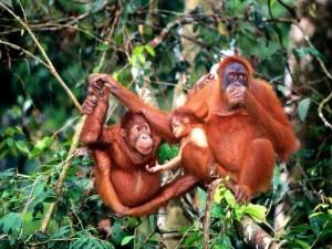 UNESCO werelderfgoed van Indonesië: het Sumatraanse regenwoud met orang-oetans