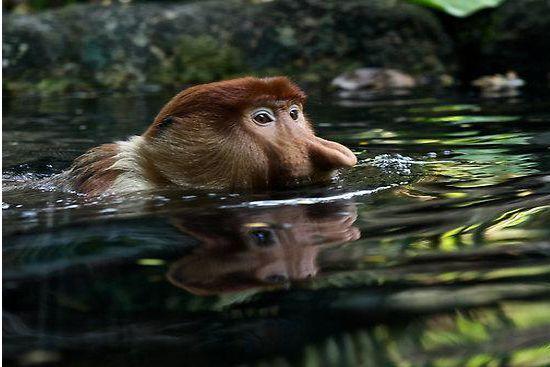 zwemmende neusaap