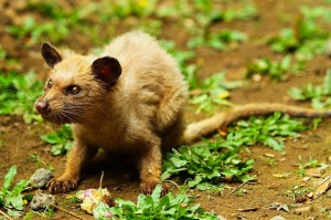 Kopi luwak wordt gemaakt van de uitwerpselen van deze civetkat, ook wel 'luwak' genaamd in de lokale taal.