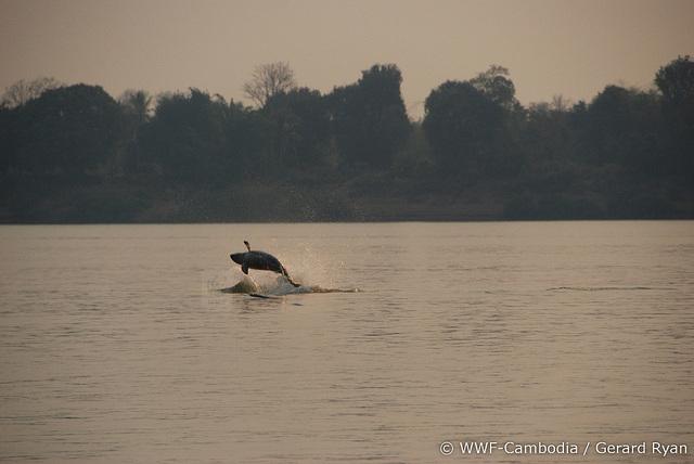 In Kratie kun je Irrawaddy zoetwaterdoflijnen spotten