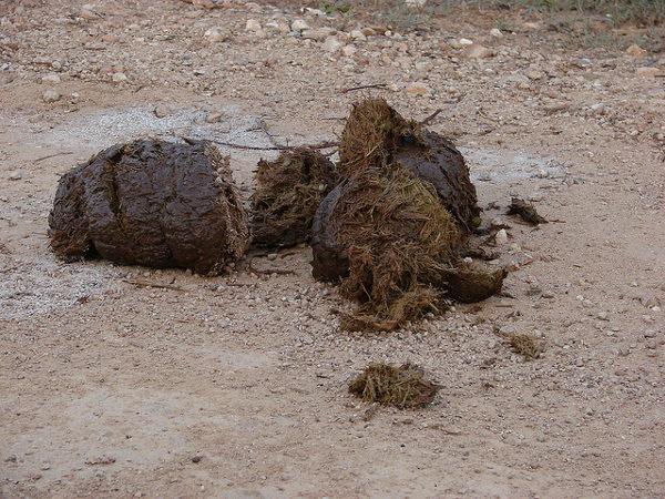 Kopi luwak wordt van de troon gestoten door koffie gemaakt van uitwerpselen van olifanten