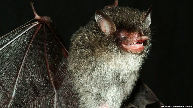 beëlzebub vleermuis