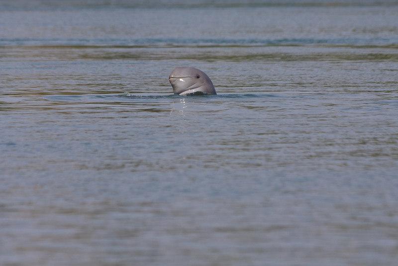 Irrawaddy dolfijn