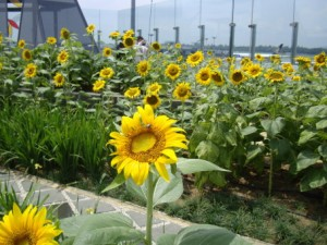 Changi airport: Sunflower Garden