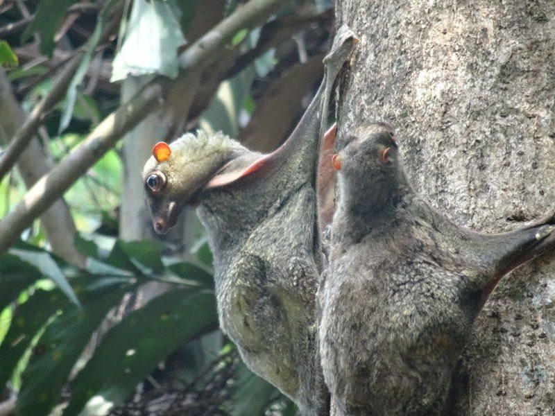 Lemuren op Koh Surin zoam